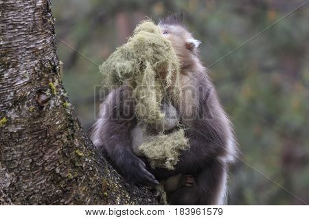 Yunnan Black Snub-Nosed Monkey (Rhinopithecus Bieti) in China poster