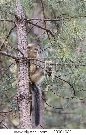 Yunnan Black Snub-Nosed Monkey (Rhinopithecus Bieti) in China