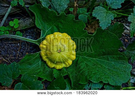 Yellow round vegetable on a piece of burdock