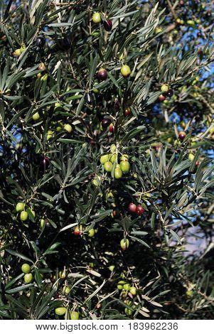 Olives ripening on a tree near El Burgo Malaga Province Andalusia Spain Western Europe.
