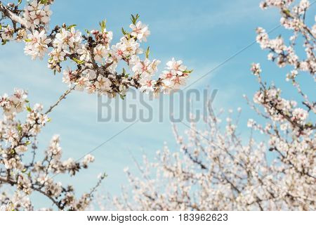 Almond trees in bloom in the Retiro park in Madrid, Spain. Selective focus, and a place for text