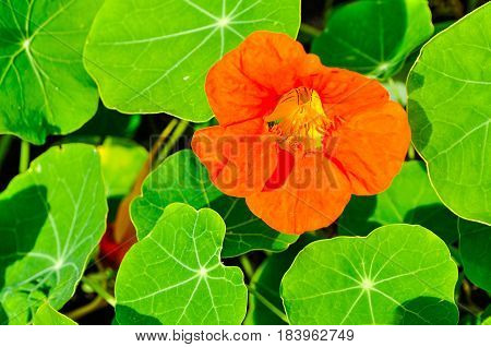 Summer flower landscape. Bright orange summer nasturtium flower- in Latin Tropaeolum - summer background with beautiful summer nasturtium flower. Summer flower bes with nasturtium flower - summer landscape
