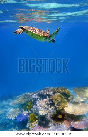 Green turtle and coral in ocean at Great Barrier Reef, Australia