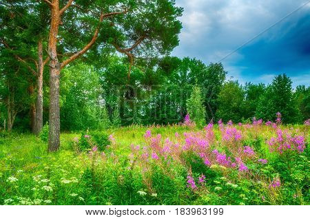 Summer forest landscape in cloudy weather- green pine forest trees under dramatic sky and summer pink willow-herb on the foreground.Summer nature.Picturesque summer forest landscape view of summer forest nature. Soft focus applied.