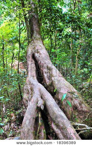 Big tree in tropical Daintree rainforest Queensland Australia