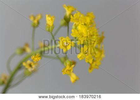 Flower of Alyssum montanum an ornamental plant in Europe.