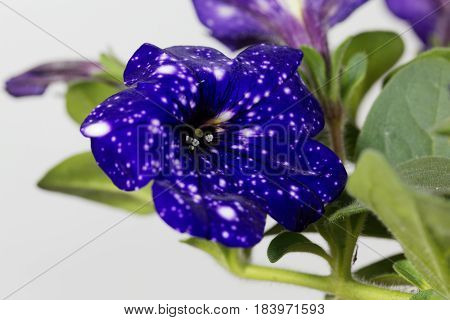 Blue flowers with white spots of a cultivated hybrid Petunia (Petunia x hybrida)