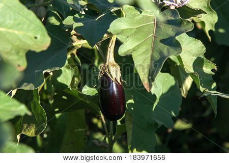 Ripe Purple Eggplant Growing In A Greenhouse In The Brazil
