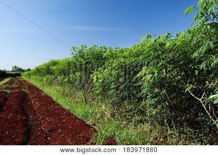 Cassava (manioc tapioca or yuca) field. Fresh.