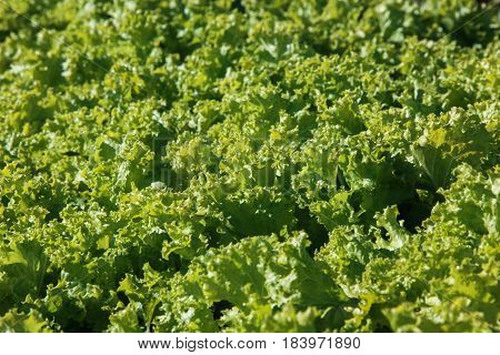 Culture of organic salad in greenhouses. Fresh