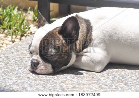 sleeping French bulldog on the floor , french bulldog