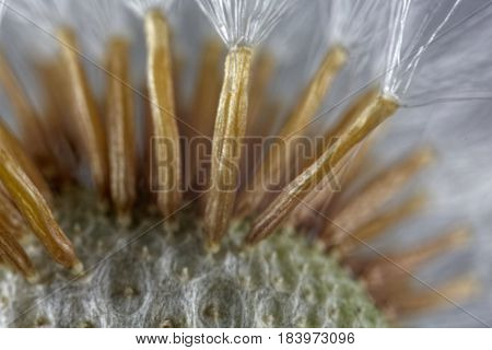 Seeds of a coltsfoot flower (Tussilago farfara ) under a microscope.