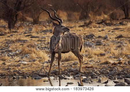 Greater Kudu in a waterhole in the Etosha National Park in Namibia; Concept for travel in Africa and Safari