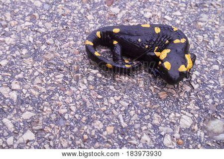 Fire Salamander On An Asphalt