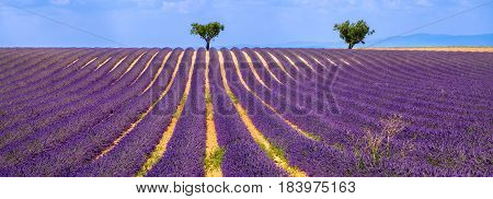 Horizontal panoramic of a lavender field with olive trees in Valensole on Summer afternoon. Southern Alps (Alpes de Haute Provence) South of France.