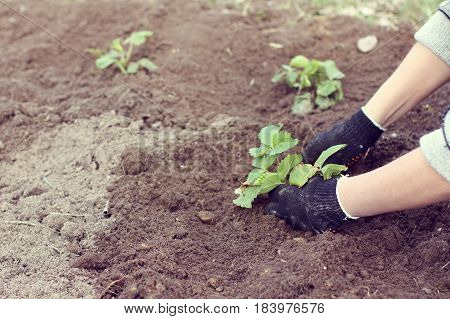 Hands of the gardener with a bush of strawberries in their hands against the background of an earth bed / seedlings of berry crops