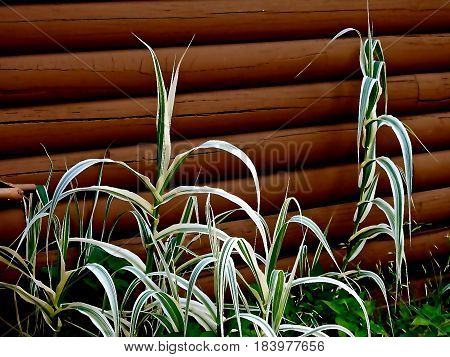 Corn Type Plant, grows very tall, White and Green striped Leaves.