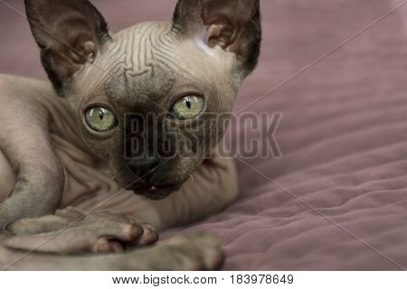 kitten of the canadian Sphynx bald cat muzzle eyes