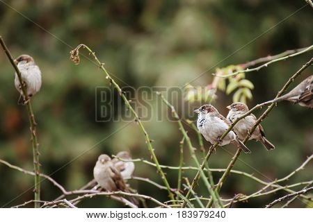 Group of grey sparrow birds resting on the branch of the bush, natural animal background