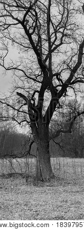 Old branchy oak standing alone in a clearing of a forest in a black and white picture