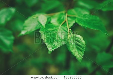 Branch of green summer leaves in the woods, eco natural seasonal background with copy space
