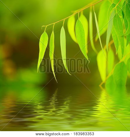 Eucalyptus green leaves abstract background with water reflection and copy space