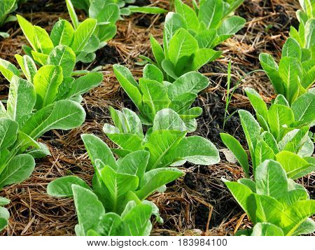 Garden of romaine or cos lettuce planted in rows