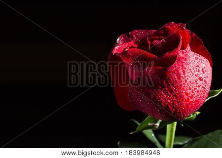 Flower of a red rose on a black background with dewdrops