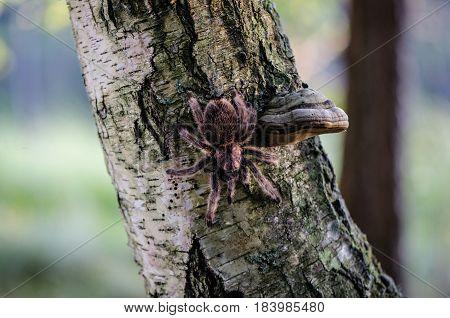Furry tarantula alfresco walking along the tree trunk.
