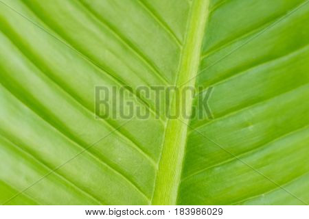 Pattern of green leaves in morning, texture