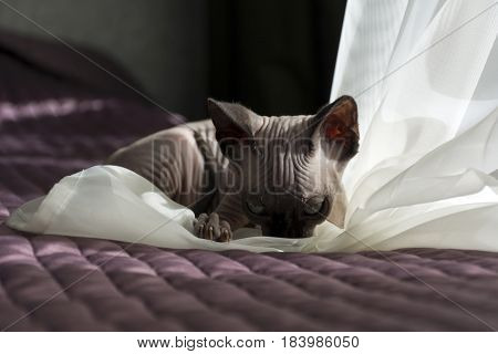 kitten bald cat plays on the bed with tulle the folds in the skin wrinkles nails