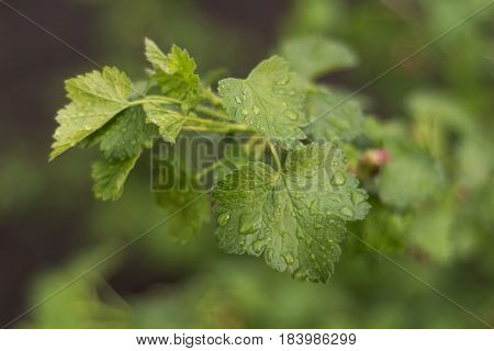 New leaves of gooseberries in the springtime