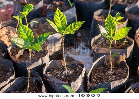 Arabica coffee seedlings in morning, green tree