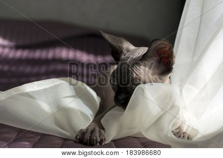 bald cat kitten playing on a blanket with tulle claws eyes skin fold