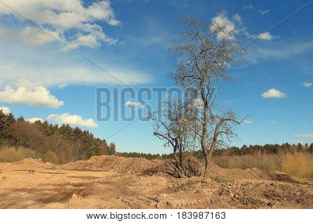 Landscape of a dry tree against a forest background. Sunny day, clouds, blue sky.