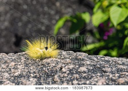 Yellow furry caterpillar on stone and green blur background. Pale Tussock Moth Caterpillar - Dasychira pudibunda