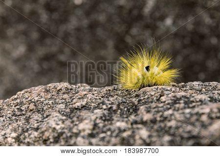 Yellow furry caterpillar on stone, Pale Tussock Moth Caterpillar - Dasychira pudibunda