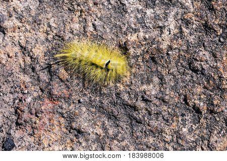 Yellow furry caterpillar on stone Pale Tussock Moth Caterpillar - Dasychira pudibunda