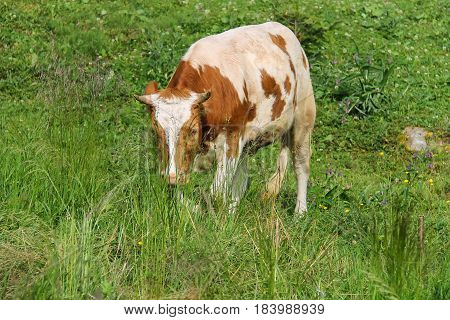 White and red calf on summer green meadow