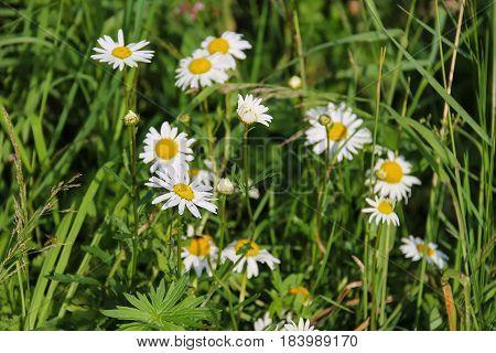 Nice chamomile flowers on summer green meadow