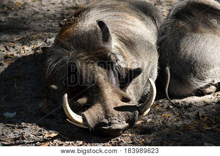 warthog resting at wildlife reserve Florida, USA.