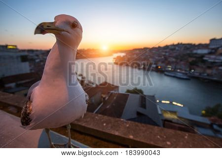 Seagull sits on the background of Douro river during sunset, Porto, Portugal.