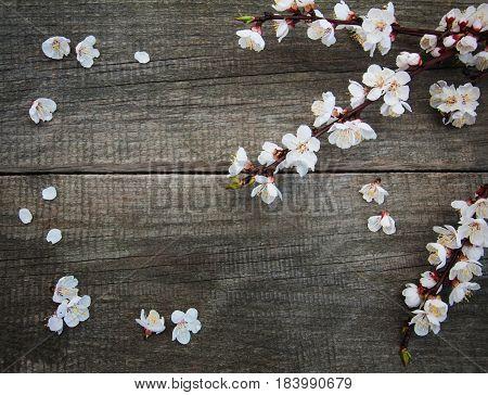 Spring Apricot  Blossom