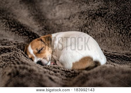 Jack Russell puppy lying on a brown blanket.