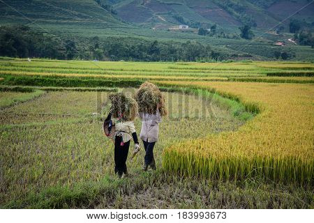 Harvesting Rice In Northern Vietnam