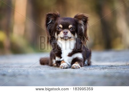 adorable brown chihuahua dog posing outdoors in summer