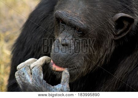 Portrait of a contemplative male chimpanzee in Kenya