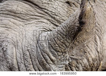Close-up of a black rhinoceros' ear and grey, wrinkled skin