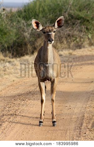A quizzical female Greater kudu stands on a dirt road