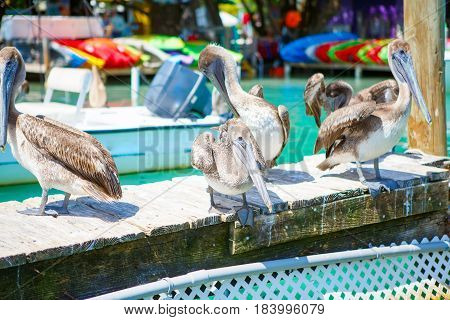 Big brown pelicans in port of Islamorada, Florida Keys. Waiting for fish at Robbie's Marina